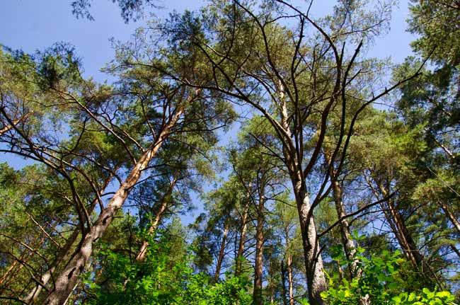 zervynos-lithuania-trees